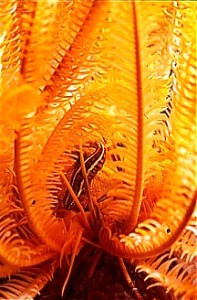 Poisson articulé dans une crinoïde