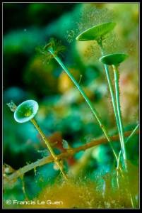 Acétabulaires, Figuerolles, La Ciotat, plongée, algue unicellulaire