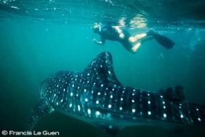 Phocea Riviera Maya plongée Yucatan Mexique Holbox requin baleine