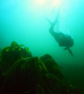 Dans les algues laminaires