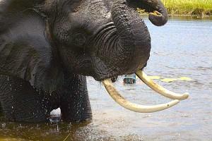 Elephant du Botswana