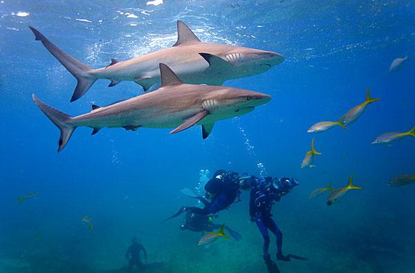 requins de Bimini