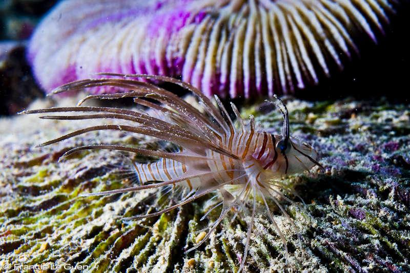 Poisson scorpion juvénile île Rodrigues