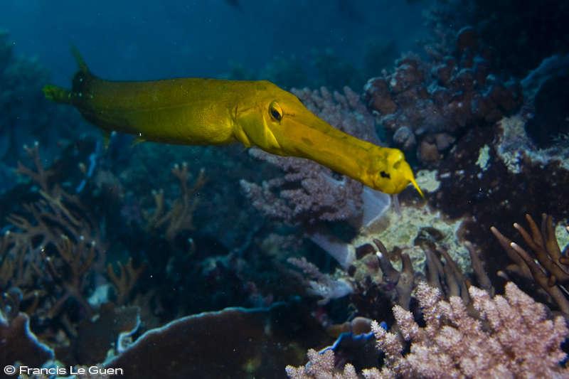 Rodrigues poisson trompette