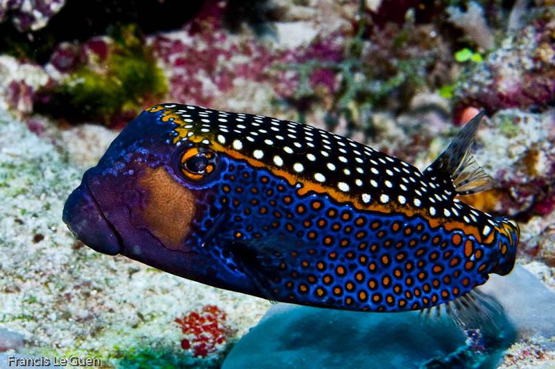 Maldives : Poisson coffre
