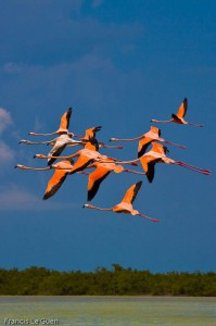 flamands roses Holbox