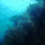 Thaïlande similan photo sous marine gorgone