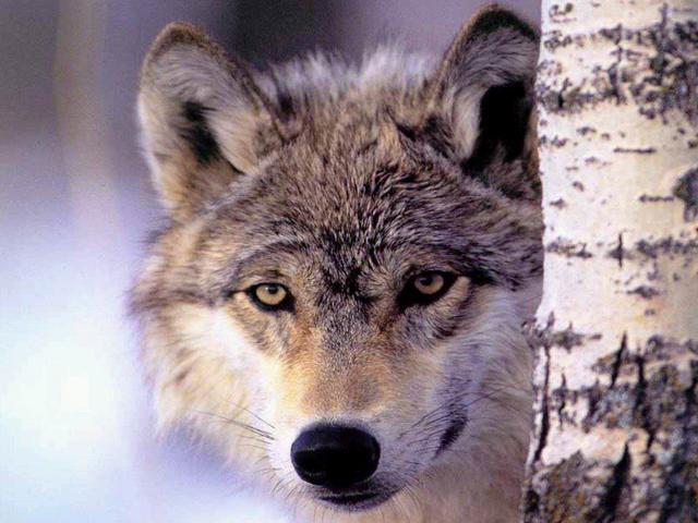 Le loup dans la bergerie