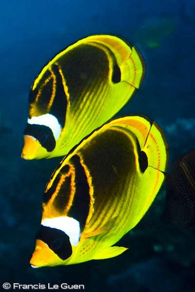 Rodrigues : Papillons changés en oignons