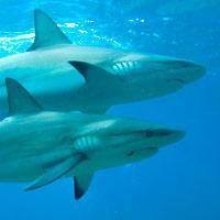 Bahamas : deux requins pour le prix d'un !