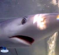 Un requin peau bleue en Méditerranée