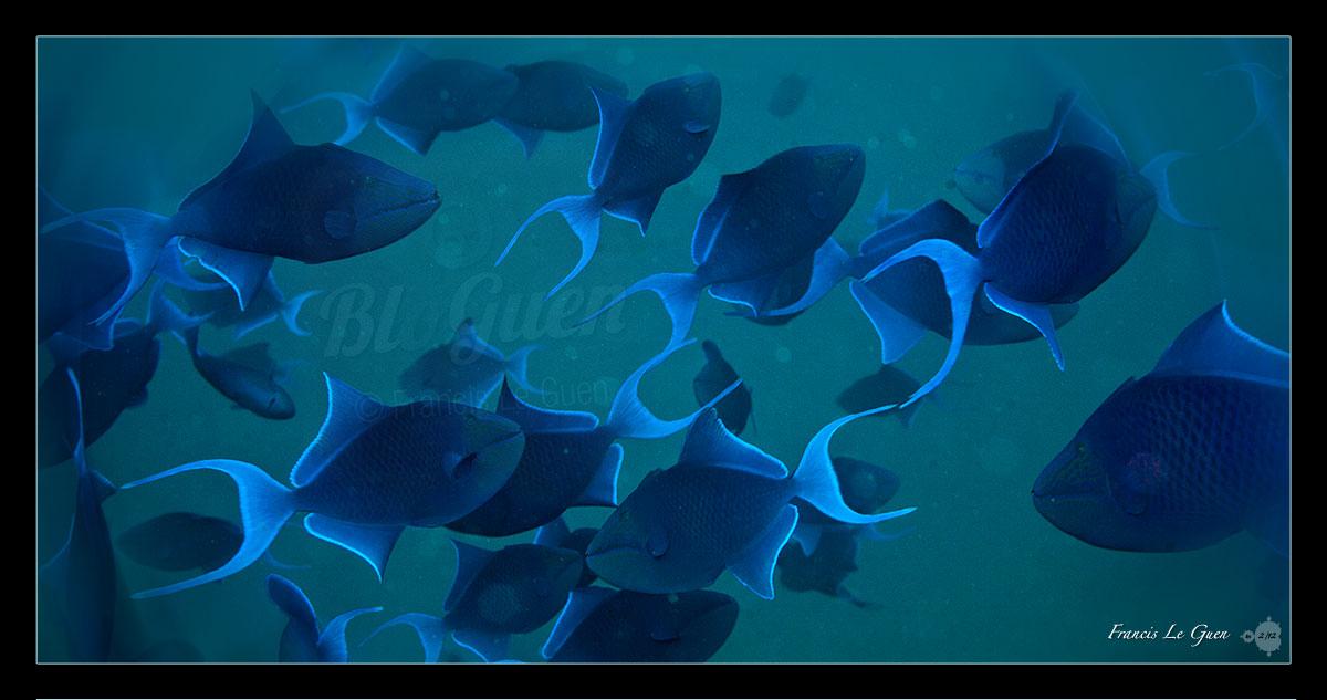 Collection Photos - Balistes bleus - Oman