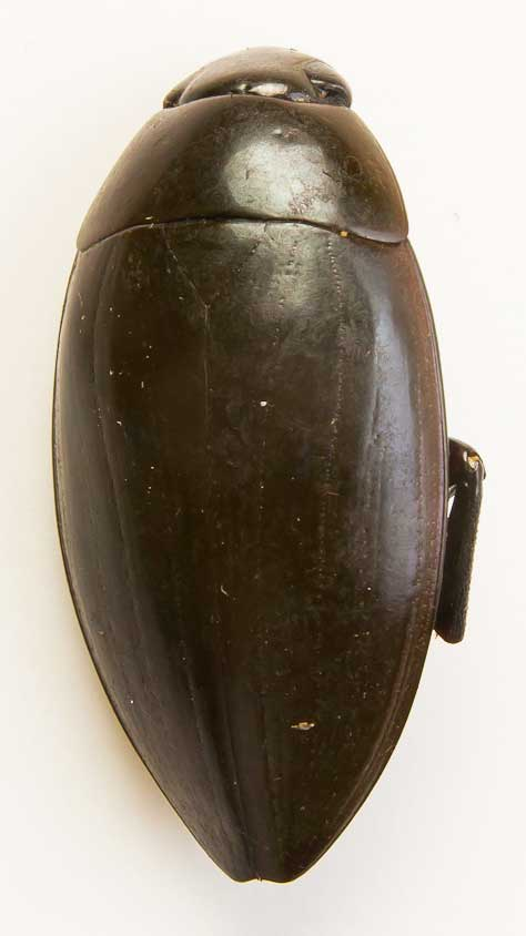 scarabee-plongeur